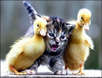 funny-animals-kitten-ducks